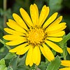 Texas wildflower - Littlehead Gumweed (Grindelia microcephala)