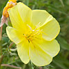 Texas wildflower - Showy Evening Primrose (Oenothera grandis)