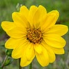 Texas wildflower - Simpson Rosinweed (Silphium Simpsonii)