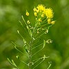 Texas wildflower - Tansy Mustard (Descurainia pinnata)