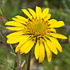 Texas wildflower - Showy Nerveray (Tetragonotheca repanda)