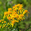 Texas wildflower - Texas Groundsel (Senecio Ampullaceus)
