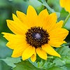 Texas wildflower - Texas Sunflower (Helianthus praecox)