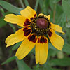 Texas wildflower - Brown-Eyed Susan (Rudbeckia hirta)