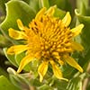 Texas wildflower - Bushy Sea Ox-eye (Borrichia frutescens)