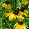 Texas wildflower - Clasping-Leaf Coneflower (Dracopis amplexicaulis)