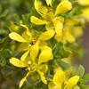 Texas wildflower - Creosote Bush (Larrea tridentata)