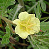 Texas wildflower - Cut-Leaf Evening Primrose (Oenothera laciniata)