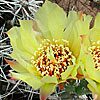 Texas wildflower - Dog Cholla Cactus (Grusonia schottii)