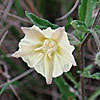 Texas wildflower - False Nightshade (Chamaesaracha sordida)