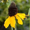 Texas wildflower - Giant Coneflower (Rudbeckia maxima)
