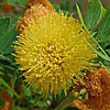 Texas wildflower - Golden-Ball Lead-Tree (Leucana retusa)