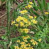 Texas wildflower - Golden Groundsel (Senecia obovatus)