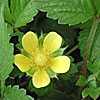 Texas wildflower - Indian Strawberry (Duchesnea indica)
