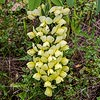 Texas wildflower - Wild Plains Indigo (Baptisia bracteata)