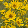 Texas wildflower - Maximilian Sunflower (Helianthus Maximiliani)