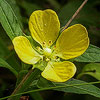 Texas wildflower - Narrow-leaf Water Primrose (Ludwigia octovalvis)