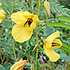 Texas wildflower - Partridge Pea (Cassia fasciculata)