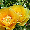 Texas wildflower - Prickly Pear Cactus (Opuntia sp.)