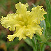 Texas wildflower - Puccoon (Lithospermum incisum)