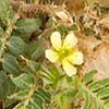 Texas wildflower - Puncturevine (Tribulus terrestris)