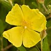 Texas wildflower - Rock Rose (Helianthemum georgianum)