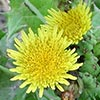 Texas wildflower - Sow-Thistle (Sonchus sp.)