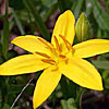 Texas wildflower - Yellow Star-grass (Hypoxis hirsuta)