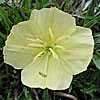 Texas wildflower - Stemless Evening Primrose (Oenothera triloba)