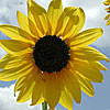 Texas wildflower - Common Sunflower (Helianthus annuus)