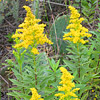 Texas wildflower - Tall Goldenrod (Solidago sp.)