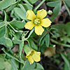 Texas wildflower - Yellow Wood-Sorrel (Oxalis Dillenii)