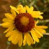 Texas wildflower - Yellow Gaillardia (Gaillardia pinnatifida)