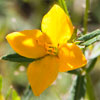 Texas wildflower - Yellow Meadow Beauty (Rhexia lutea)