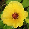 Texas wildflower - Yellow Prickly Poppy (Argemone mexicana)