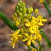 Texas wildflower - Yellow Sunny-bell (Schoenolirion croceum)