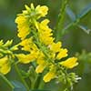 Texas wildflower - Yellow Sweet Clover (Melilotus officinalis)