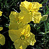 Texas wildflower - Yellow Primrose